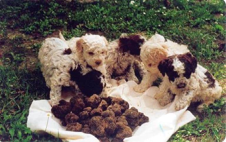 The famous truffle dogs - typically Lagotto Romagnolo Breed